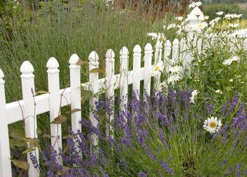 Lavenderfence